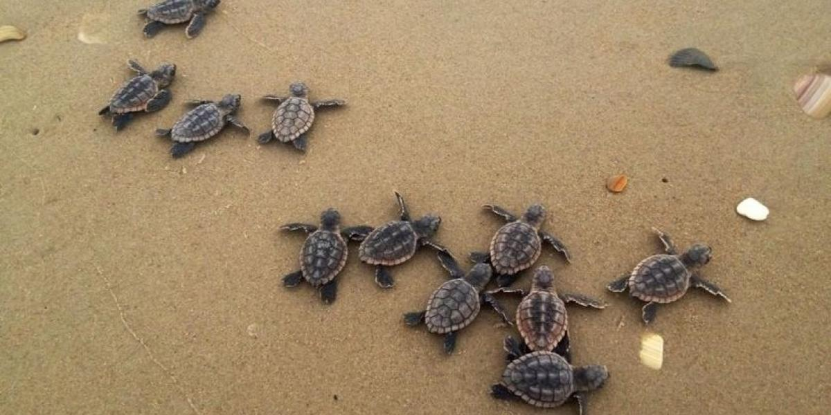 10 Fascinating Facts About Loggerhead Sea Turtles Visit