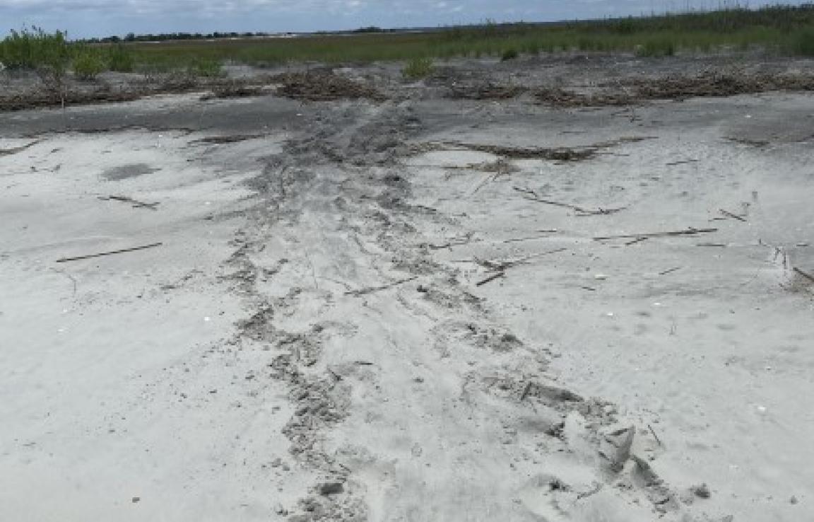 Fresh Loggerhead Sea Turtle tracks:)