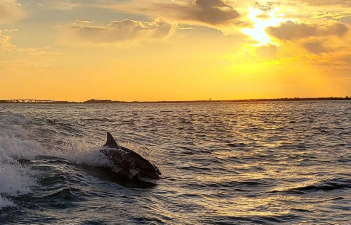 Dolphins Surfing At Sunset