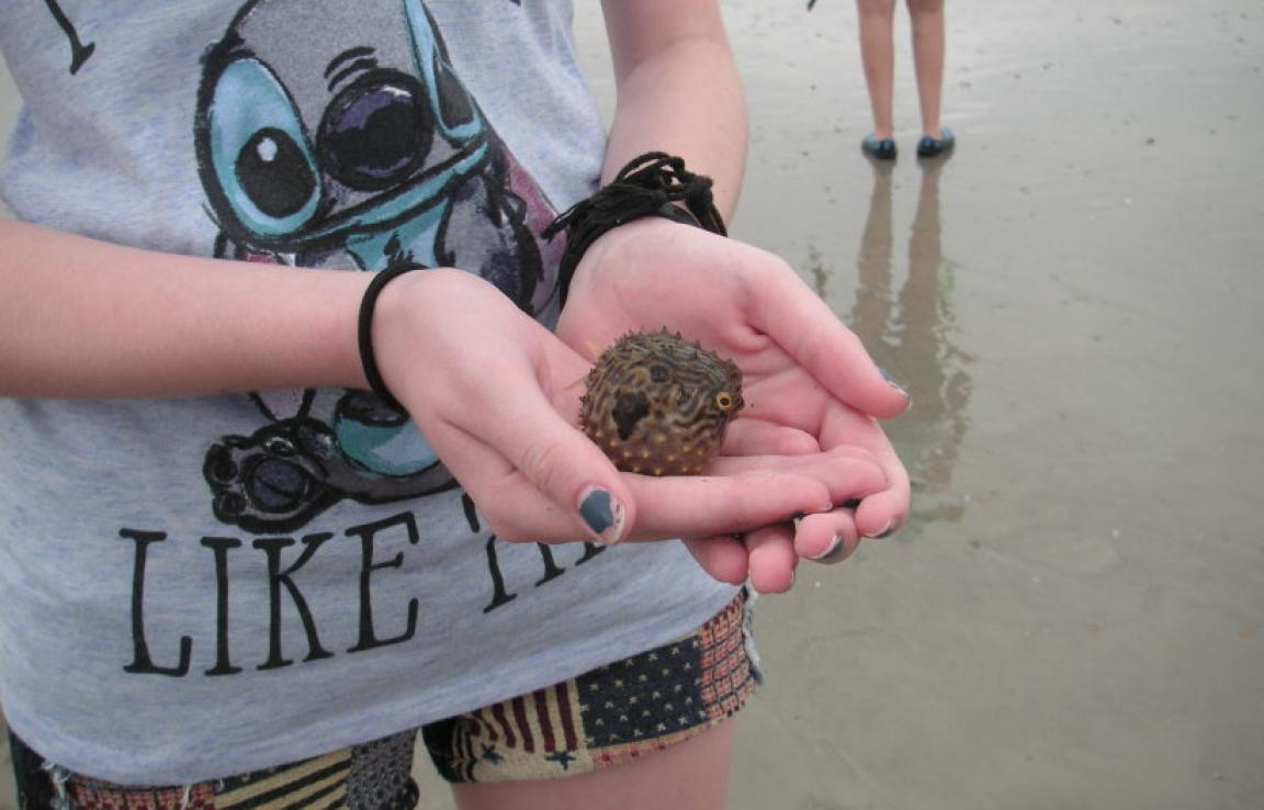 Small Striped Burrfish (puffer)